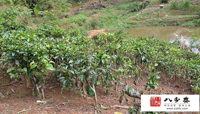 最古老的普洱茶树——古茶树王