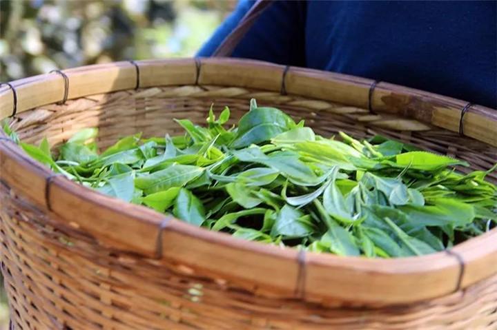 定格普洱茶叶品质的关键之杀青
