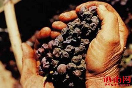 长毛了葡萄酿出来的葡萄酒,没想到比拉菲还贵!